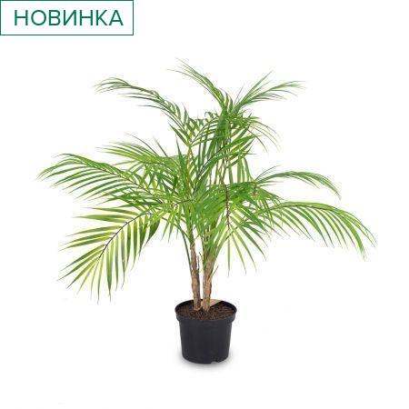П70/К/359 Пальма кустовая латекс h70см
