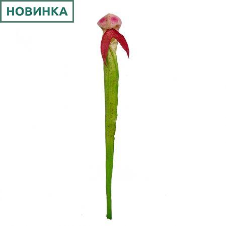 403/0314/1В Непентес h65см (розовый)