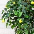 БП 110/41 Бонсай плодов. Лимон-мини 110см (латекс)