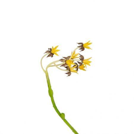 """СКК03 Суккулент""""Хавортия цветущ.""""h-15 в кашпо d-11"""