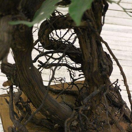 170/ОС/Р/КОР/34 Фикус (латекс) с корнями на подст.