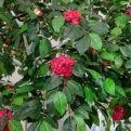 300разб/70 Камелия розовая (шир.-180см)h-300см