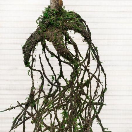 КД130/201(з) Туя с корнями 130см