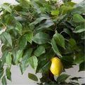 БП 100/Я2/20М Бонсай плод. Лимон (2 ярусн.) (латекс)