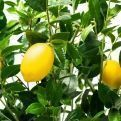 180/РН/20 Лимон h180см(латекс)