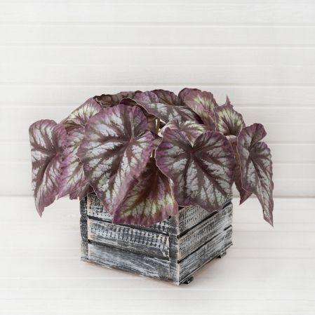 ТД077 Бегония вишневая в черно-белом ящике (14*14*9см)