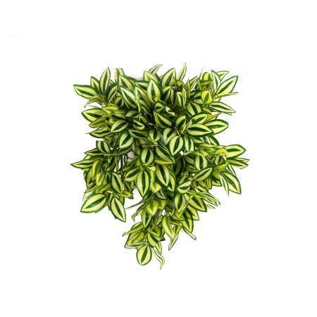 КС75-1 Традесканция ампельная (желто-зеленая) в кашпо