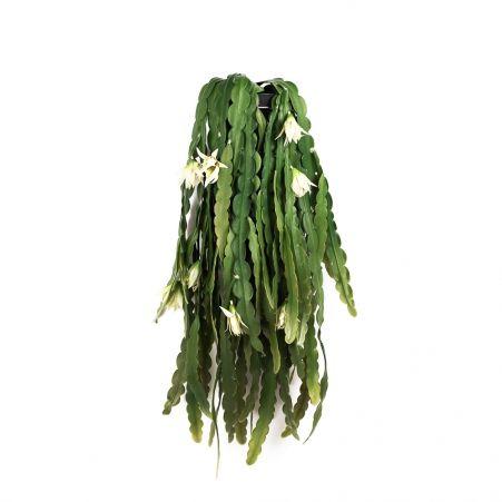 КС76 Эпифиллум ампельный с цветами в кашпо