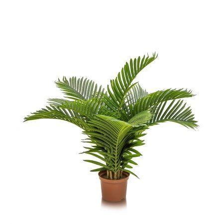 П100/К/49-1(з.) Пальма кустовая латекс h-100см