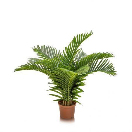 П100/К/49-1(з.) Пальма кустовая h100см(латекс)
