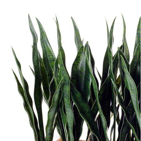 ТД080-2 Сансевиерия малая h 42см в кокосовом боксе (50*20*10)