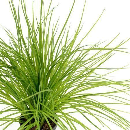 ЦС92 Трава Осока латекс в горшке d 11(h-45 см)