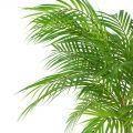 П95/К/359 Пальма кустовая h95см(латекс)