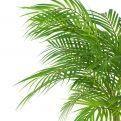 П95/К/359 Пальма кустовая h95см