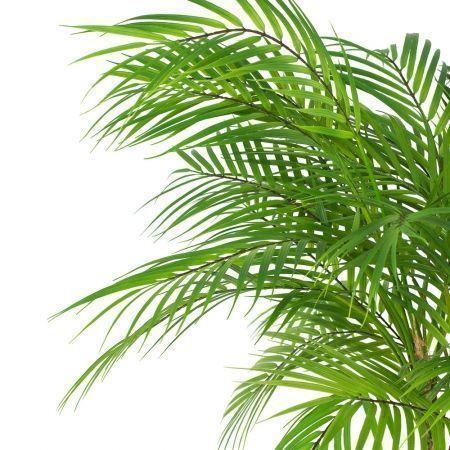 П95/К/359 Пальма кустовая латекс h95см