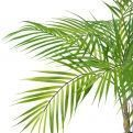 П70/К/359 Пальма кустовая h70см