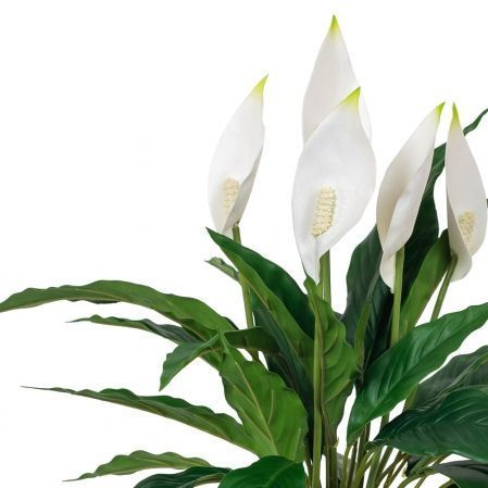 К50/217 Куст Спатифиллума с цветами h50см(латекс)  в кашпо d15см