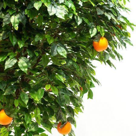 260/ШК/34(з.) Апельсиновое дерево h260см(латекс)