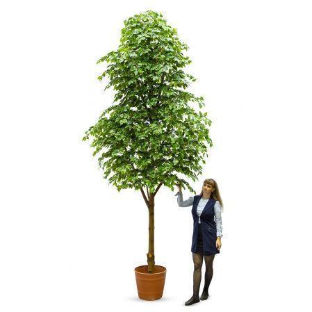 400Разб/РН-П/34(з.) Фикус (дерево пристенное)h400см(латекс)